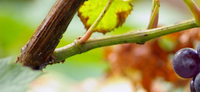 Ekstrakt z pestek winogron hamuje wzrost nowotworów