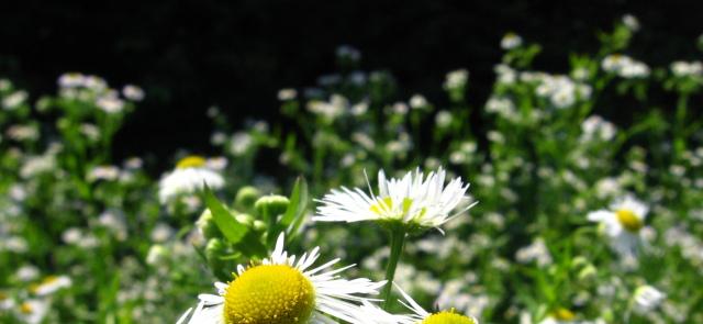 Sleeping herbs. Part II: chamomile, lemon balm, passionflower.