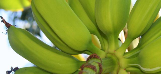 Diety okiem dietetyka: Dieta bananowa