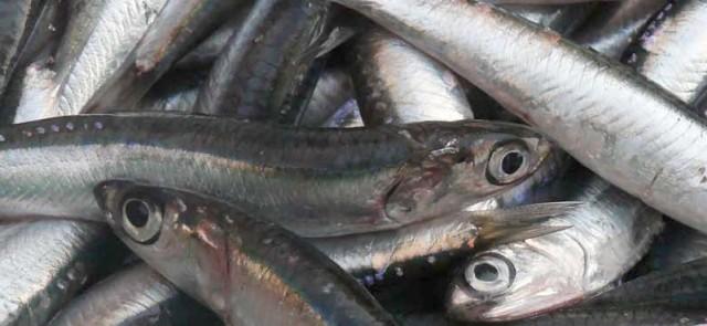 Oliwa z oliwek i tłuste ryby morskie wspomagają przyrost beztłuszczowej masy ciała