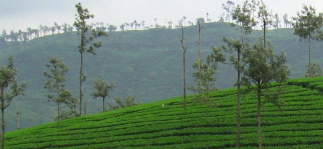 Czerwona herbata Pu-erh hamuje przyrost tłuszczu