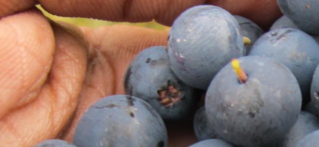 Diety okiem dietetyka: Dieta jagodowa