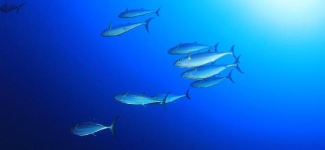 Kontrowersje wokół konserwowego tuńczyka
