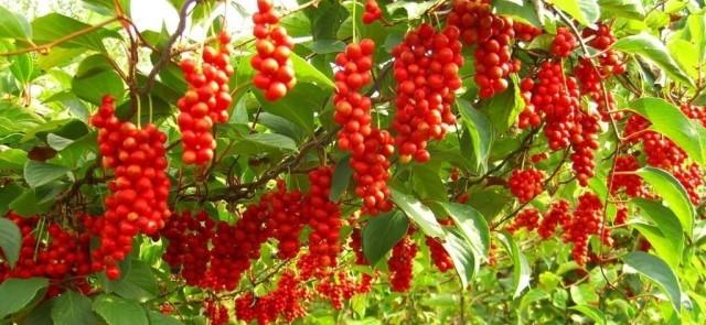 Cytryniec chiński - starożytny owoc o ciekawych właściwościach