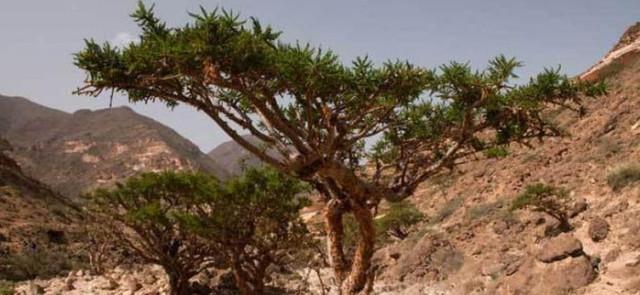 Boswellia serrata- Kadzidłowiec indyjski
