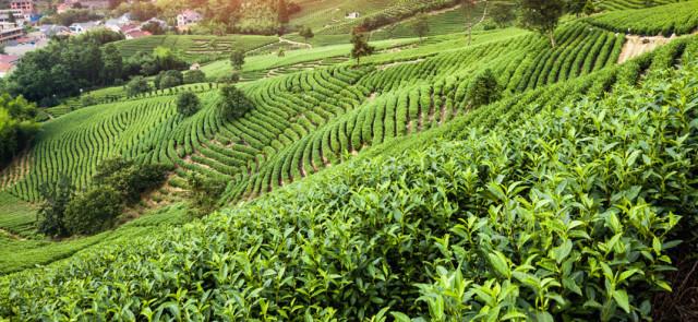 Czy herbata może pomóc w odchudzaniu?