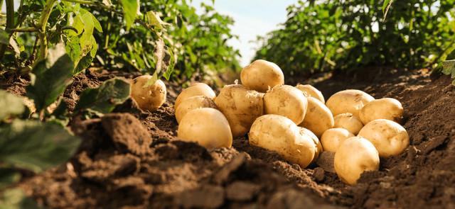 6 zaskakujących faktów na temat ziemniaków