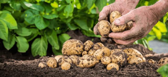Dlaczego warto jeść ziemniaki? 5 powodów