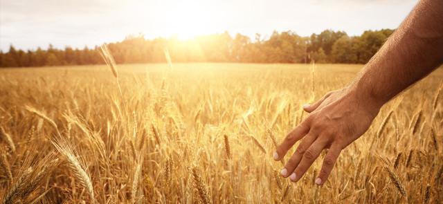 Rodzaje zbóż – kaloryczność i makroskładniki